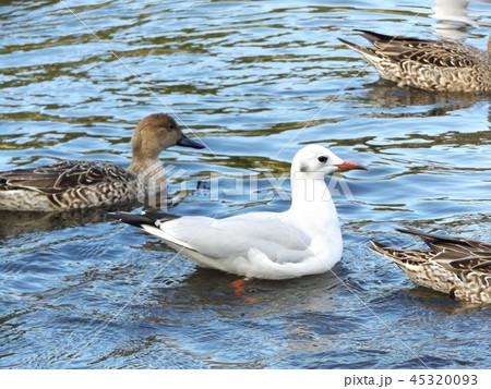 今年もやって来ました冬の渡り鳥オナガガモとユリカモメ 45320093