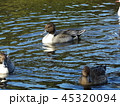 今年もやって来ました冬の渡り鳥オナガガモ 45320094