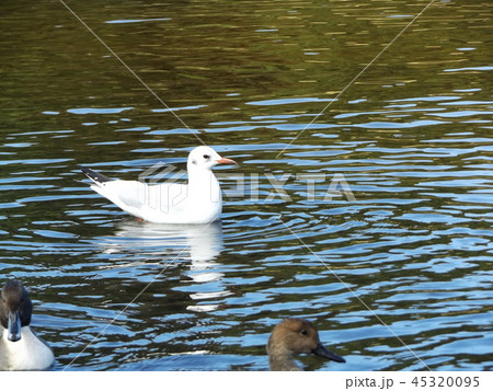 今年もやって来ました冬の渡り鳥ユリカモメ 45320095