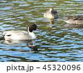 今年もやって来ました冬の渡り鳥オナガガモ 45320096