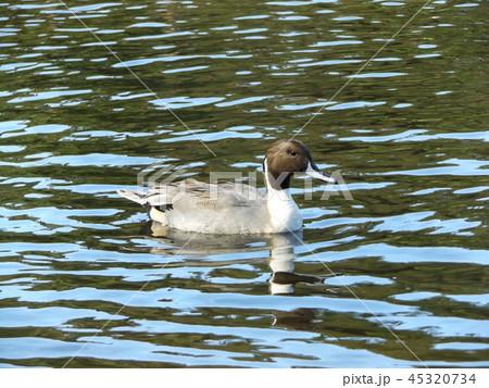 今年もやって来ました冬の渡り鳥オナガガモ 45320734