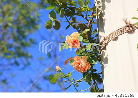 バラの花 ペガサス 45321569