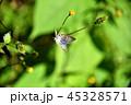 昆虫 蝶々 ウラナミシジミの写真 45328571