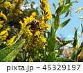キンケハラナガツチバチ 45329197
