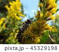 キンケハラナガツチバチ 45329198