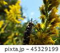 キンケハラナガツチバチ 45329199