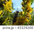 キンケハラナガツチバチ 45329200