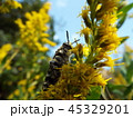 キンケハラナガツチバチ 45329201