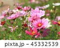アキザクラ コスモ コスモスの写真 45332539
