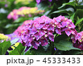 紫陽花 アジサイ あじさいの写真 45333433