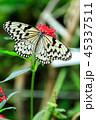 蝶 蝶々 アゲハチョウの写真 45337511
