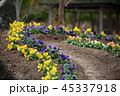 パンジー 花 三色菫の写真 45337918