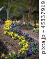 パンジー 花 三色菫の写真 45337919