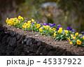 パンジー 花 三色菫の写真 45337922