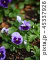 パンジー 花 三色菫の写真 45337926