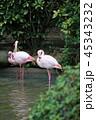 フラミンゴ 鳥 鳥類の写真 45343232