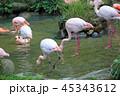 フラミンゴ 鳥 鳥類の写真 45343612