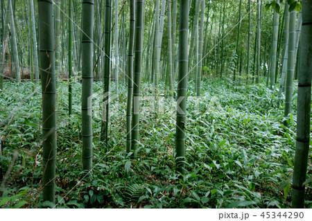 日本 京都 緑の竹藪 竹林 Japan Kyoto green bamboo forest 45344290