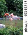 フラミンゴ 鳥 鳥類の写真 45345846