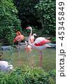 フラミンゴ 鳥 鳥類の写真 45345849