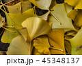 イチョウ 銀杏 45348137