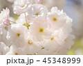桜 八重桜 春の写真 45348999