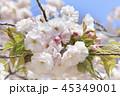 桜 八重桜 春の写真 45349001