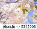 桜 八重桜 春の写真 45349003