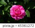 バラ 薔薇 植物の写真 45361272