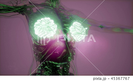 Human Body with Visible Glow Mammary Gland 45367767