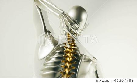 Human Spine Skeleton Bones Model with Organs 45367788