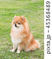 ポメラニアン 犬 小型犬の写真 45368489