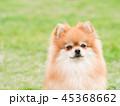 ポメラニアン 犬 小型犬の写真 45368662