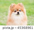 ポメラニアン 犬 小型犬の写真 45368961