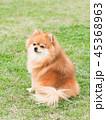 ポメラニアン 犬 小型犬の写真 45368963