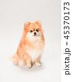 ポメラニアン 犬 小型犬の写真 45370173