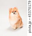 ポメラニアン 犬 小型犬の写真 45370179