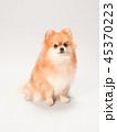 ポメラニアン 犬 小型犬の写真 45370223