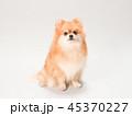 ポメラニアン 犬 小型犬の写真 45370227