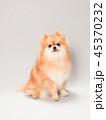 ポメラニアン 犬 小型犬の写真 45370232