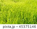 Green Grass in Sunlight Background. 45375146