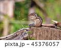 動物 かわいい リスの写真 45376057
