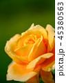 花 薔薇 植物の写真 45380563
