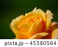花 薔薇 植物の写真 45380564