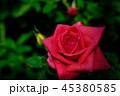 バラ 45380585