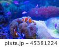 カクレクマノミ 魚 熱帯魚の写真 45381224