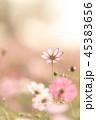 コスモス 秋桜 植物の写真 45383656