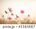 コスモス 秋桜 植物の写真 45383667