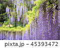 藤 花 植物の写真 45393472