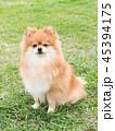 ポメラニアン 犬 お座りの写真 45394175
